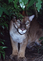 Puma in Belize