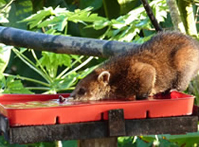 Wildlife webcam captures coatis