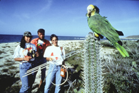 Yellow-shouldered Parrots