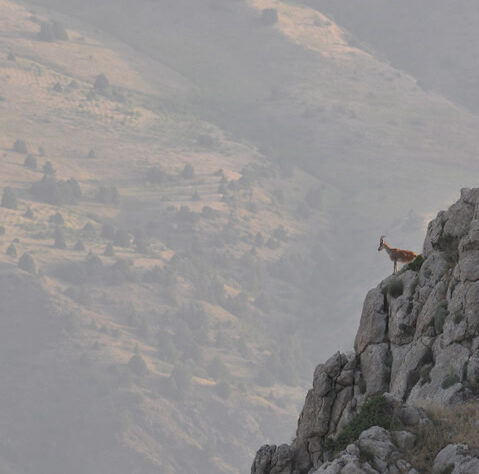Bezoar goat in Caucasus Wildlife Refuge, Armenia