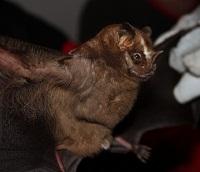 Great Fruit-eating Bat