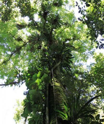 Rainforest in the Guapi Assu Reserve, Brazil