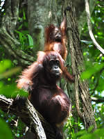 Orang-utan mother with baby