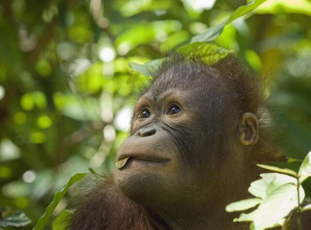 Orang-utan in Borneo, Malaysia