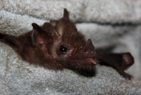 Common Hairy-legged Long-tongued Bat (Anoura caudifer)
