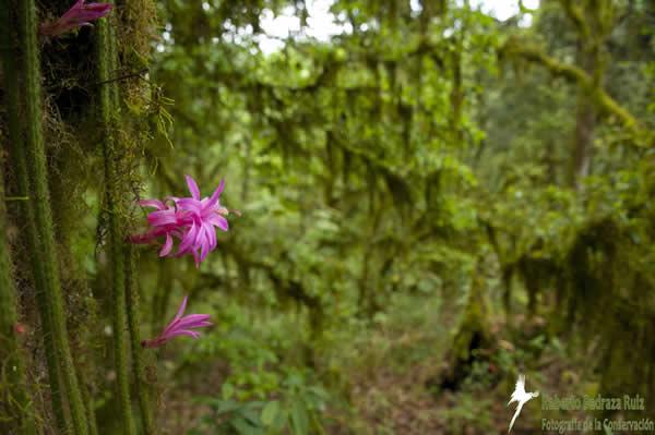 Rare flower cactus, Aporocactus flagelliformis