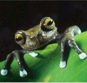 Tapichalaca tree frog (Hyla tapichalaca)