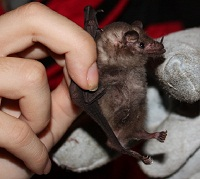 The common Hairy-legged Long-tongued Bat