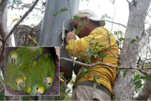 Ranger looking after Yellow-shouldered Parrot chicks
