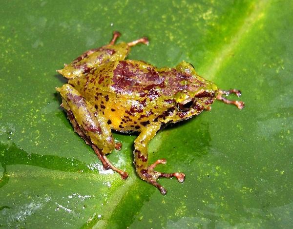 New species Pristimantis bellae