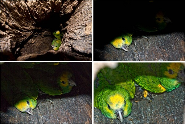 Yellow-shouldered Parrot chicks