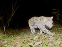 Jaguar photographed by camera-trap