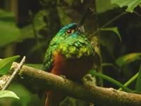 Coppery-chested Jacamar