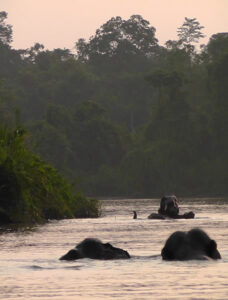 Elephants swimming in Borneo