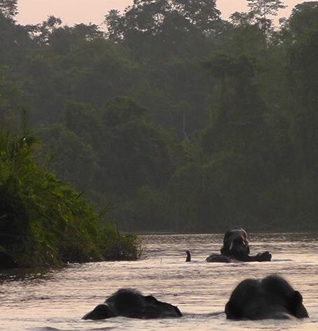 Elephants swimming in Borneo