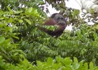 Orang-utan building a nest