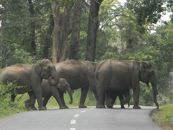 Elephant encounter in the Tirunelli-Kudrakote corridor