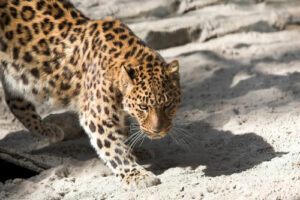 An extra 741 acres of Caucasian Leopard habitat saved
