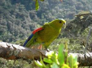 Fuertes's Parrot