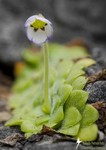 Rare, endemic butterwort discovered in Sierra Gorda