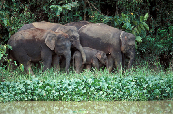 Pygmy Elephants on the bank of the Kinabatangan River