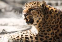 Caucasian leopard bares its fangs. © Vasiliy Koval / Shutterstock.com