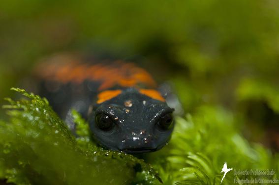 Salamander (Pseudoeurycea belli). © Roberto Pedraza Ruiz.