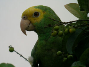Yellow Headed Parrot (Amazona oratrix)