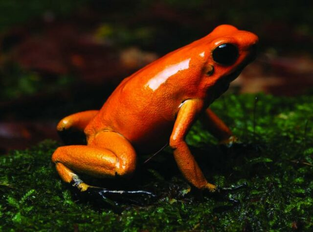 Photograph of a Golden Poison Frog