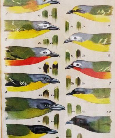 Keith Shackleton original illustration of African bush-shrikes for a scientific paper