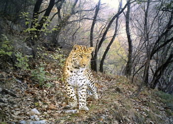 Camera-trap image of leopard on a leopard path