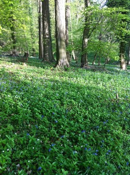 Bluebells and anenomes at Kites Hilll. © TCV / Holly Paton.