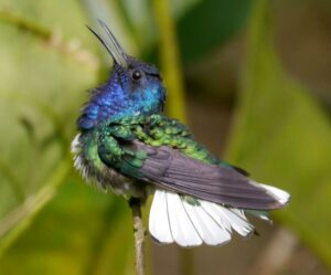 Photograph of White-necked Jacobin in Buenaventura Reserve