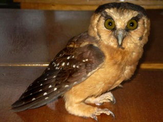 Photograph of Buff-fronted Owl in Urraca Lodge, Jorupe