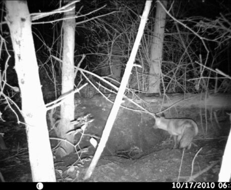 Camera-trap image of a fox watching a badger sett by Richard Carr.