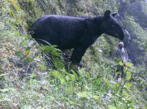 Photograph of mountain tapir in EcoMinga reserve, Ecuador