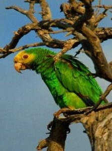 Photograph of a Yellow-shouldered Parrot