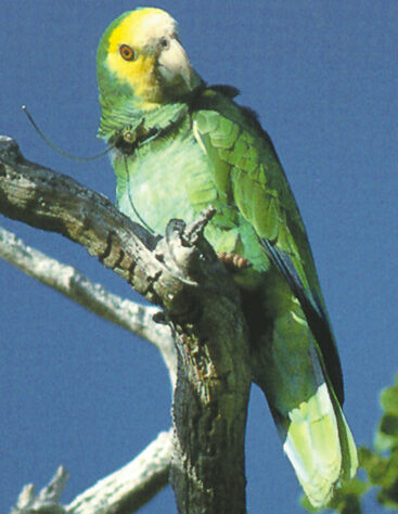 Photograph of Yellow-shouldered Parrot showing radio collar