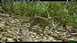 Camera-trap photo of Oncilla in Bolivia