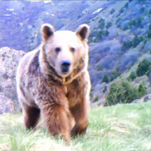 Video still of a Syrian Brown Bear in the Caucasus Wildlife Refuge. © FPWC.