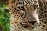 Caucasian Leopard © Misad Dreamstime.com
