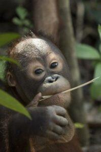 A young Orang-utan in the wild. © Chris Perrett / naturesart.co.uk.