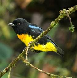 Close up of a Black-and-gold Tanager