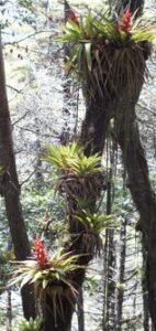 Bromeliads in the trees of Sierra Gorda