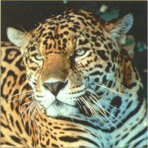 Close up of a Jaguar. © Kevin Schafer / PfB