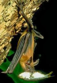 Fisherman Bat hanging upside down with a fish in its mouth