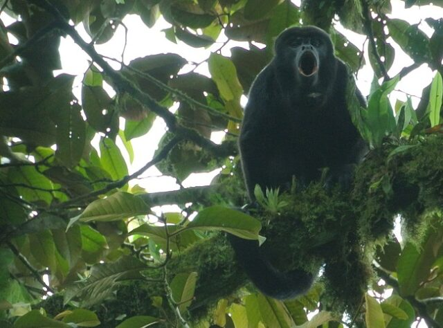 A Howler Monkey looks down from a tree in Río Canandé Reserve