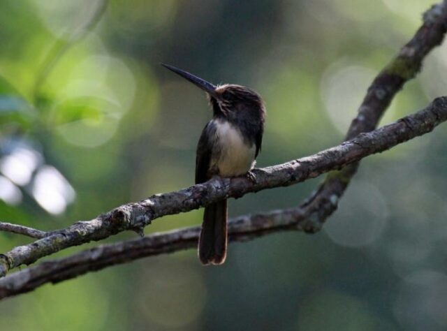 Three-toed Jacamar perched on a branch in the forest. © Steve Cale.