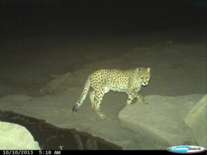 Camera-trap image of an Asiatic Cheetah at night in Miandasht Wildlife Refuge.