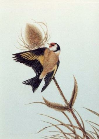 Goldfinch feeding on a teasel head (print).